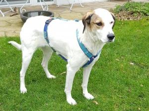 Empfehlung Canifact Geschirr - Hundeschule Rose